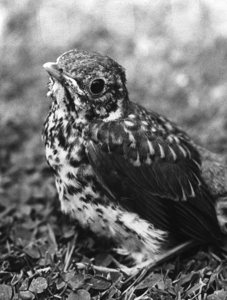 A fledgling Song Thrush. Date: 1960s