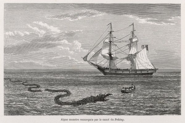 SEA SERPENT LOOK-ALIKE Trailing sea-weed observed by the French ship 'Pekin' off the Burma coast ; a boat was lowered to inspect it closely