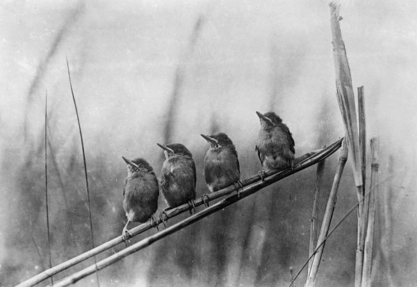 Four hungry mouths to feed, sitting on the branch of a tree. Date: early 1930s