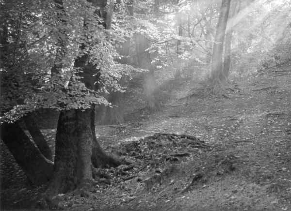 An atmospheric forest scene, showing the rays of sunshine among the trees... Date: 1930s