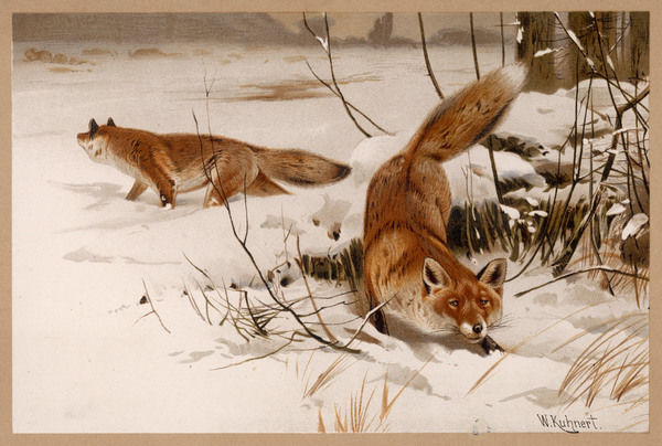 Two common foxes in the snow