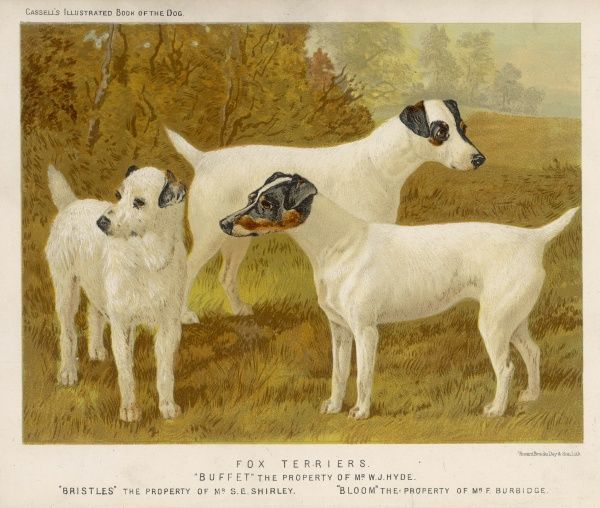 Fox terriers, rough and smooth