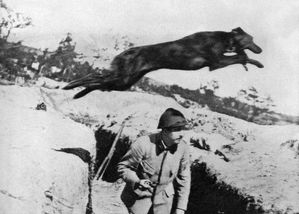 French war dog: A courser whose winged feet spurn the earth. A french courier dog leaps over a soldier in a trench, the dogs were used when the telephone systems in the front line trenches were out of commision. Date: 20th century