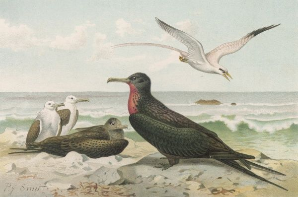 A red-chested member of the FREGATIDAE family : known to some as 'Son of the sun'. Also known as 'Man-of-war' birds