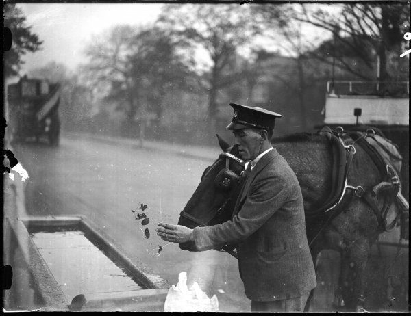 The driver of a horse bus or cab picks up a sheet of ice from a frozen horse trough!