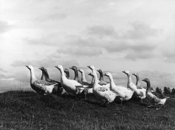 A splendid study of a gaggle of geese approaching the brow of a hill. Date: 1950s