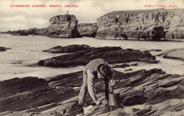 An old man gathering Limpets from the rocks on the beach at Birsay, Orkney, Scotland Date: 1908