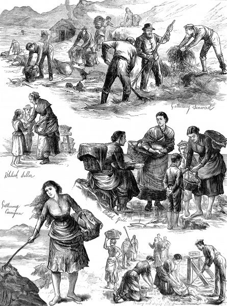 Scenes showing men, women and children gathering seaweed for food on the coast of Clare, west of Ireland