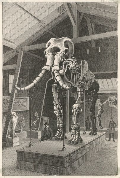 The skeleton of the giant elephant of Durfort on display in the new gallery of palaeontology at the Natural History Museum, Paris, France