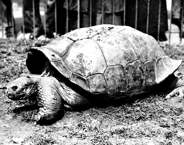 Photograph of a Bauer's Saddleback Tortoise at London Zoo, 1936