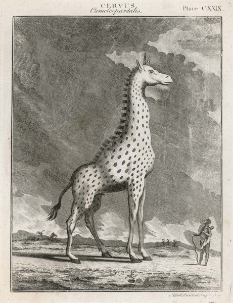 A fine 18th century depiction of the CAMELEOPARD, albeit with a somewhat exaggerated idea of its height