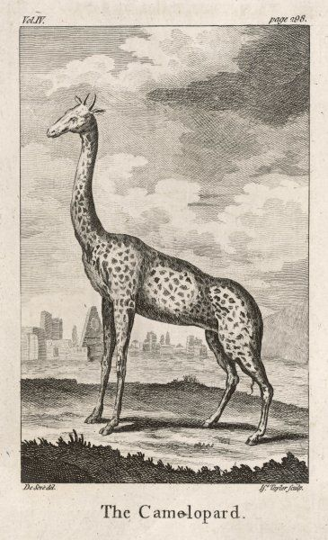 (Girafa camelopardus) Known at this time as the Camelopard