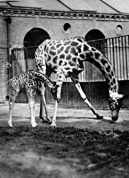 Photograph of a female giraffe and its baby at the London Zoological Gardens, London, 1922
