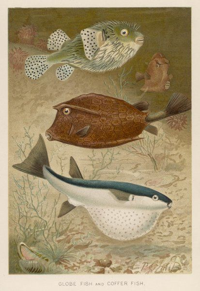 Globe fish and coffer fish swimming together