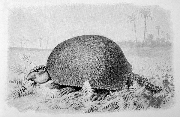 a gigantic forerunner of the armadillo, from the Pleistocene period in South America (near Buenos Aires) more than two metres in length