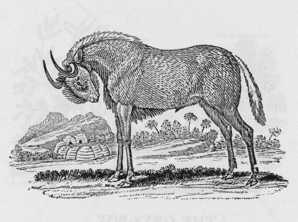 A relative of the antelope ; also known as wildebeest. Catoblepas gnu