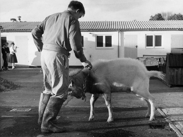 A boy and a frisky goat at Harefield School, Middlesex. Date: 1959