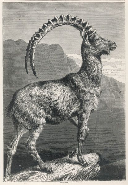 An Ibex, a member of the Goat family