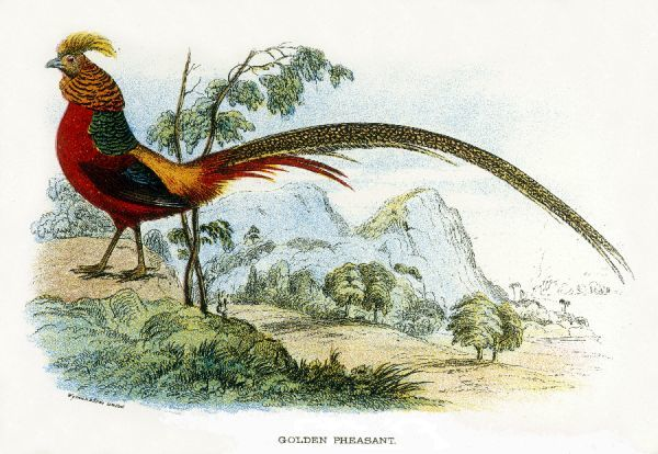 GOLDEN PHEASANT chrysolophus pictus - one of the most magnificent birds in our files !