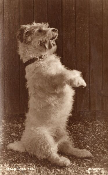 Good Dog - A terrier in seriously cute pose 1933
