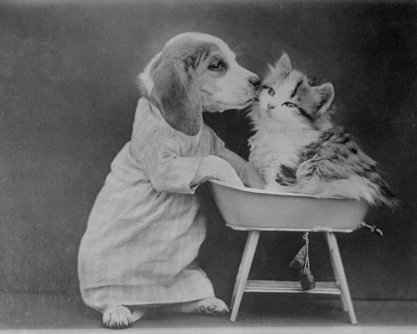 A beagle puppy kisses a kitten goodnight in its cot. Date: early 1930s