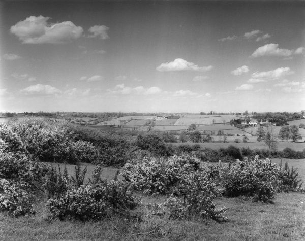 Gorse (or Broom) in bloom on the high ground above Teston village, Northamptonshire, England. On the right, in the distance, is Creston Hospital, in lovely rural surroundings. Date: 1960s