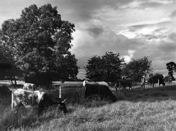 Horned cows grazing in a field on a British farm. Date: 1939