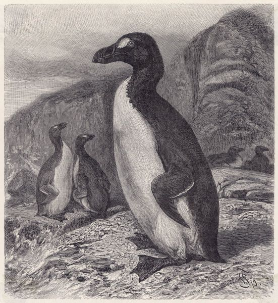 The great auk or awk (PINGUINUS IMPENNIS) who lost its final battle for survival on a small island off Iceland in 1844, primarily due to over-hunting