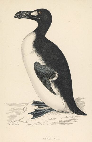 The great auk or awk (PINGUINUS IMPENNIS) who lost its final battle for survival on a small island off Iceland in 1844, primarily due to over-hunting. Date