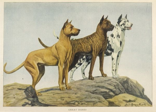 Three Great Danes standing on a hilltop, looking very alert. One Fawn colour, one Brindle and one Harlequin. All have cropped ears