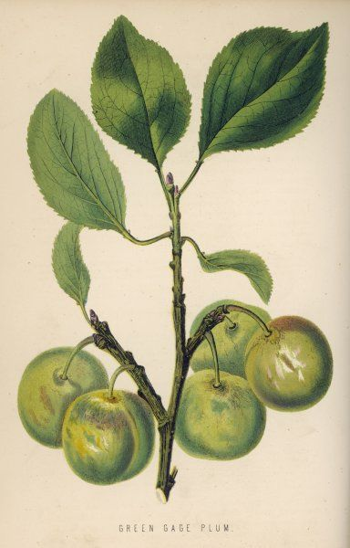 A greengage shown still on the stalk with leaves
