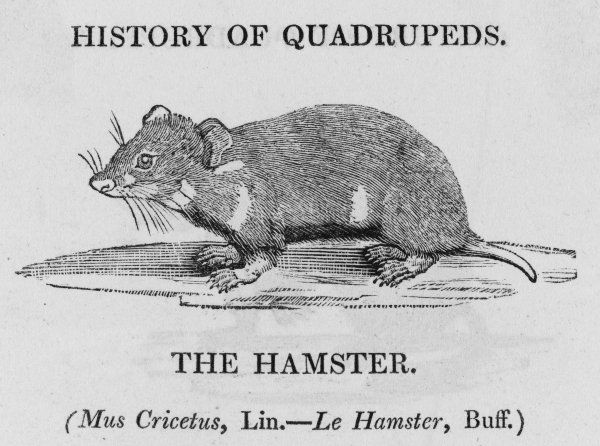 mus cricetus This is not the golden hamster of Syria, which we love to keep in cages : but Bewick says 'it well deserves our highest admiration&#39