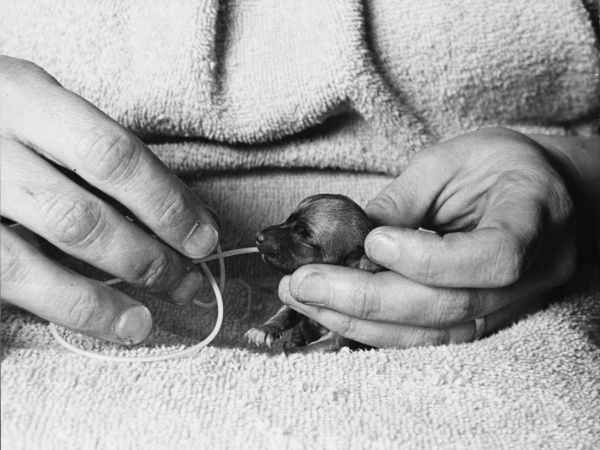 A tiny premature or runt puppy is hand reared, by inserting a fine plastic feeding tube into its mouth. The lives of thousands of puppies each year are saved by this method. Date: late 1960s