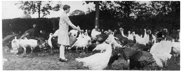 A young woman, on her morning round, feeding the flock of turkeys she is rearing for sale at Christmas