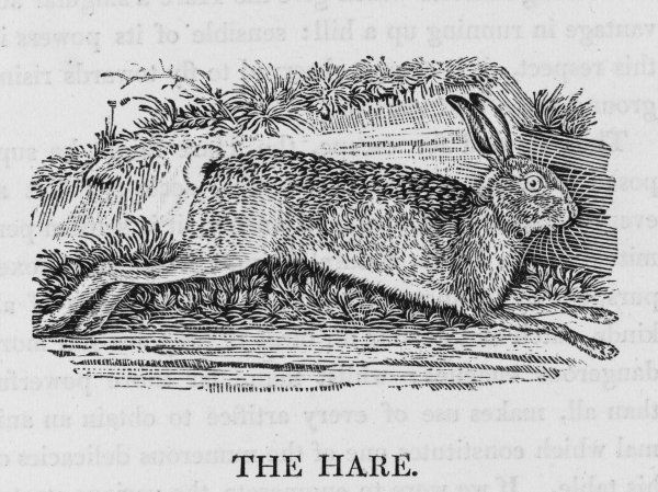 lepus timidus 'Harmless and inoffensive... fearful of every danger and attentive to every alarm, the Hare is continually upon the watch&#39