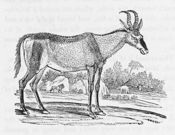 Bewick says this is the most common of all the larger Gazelles, known in any part of Africa. This one comes from the region of the Cape