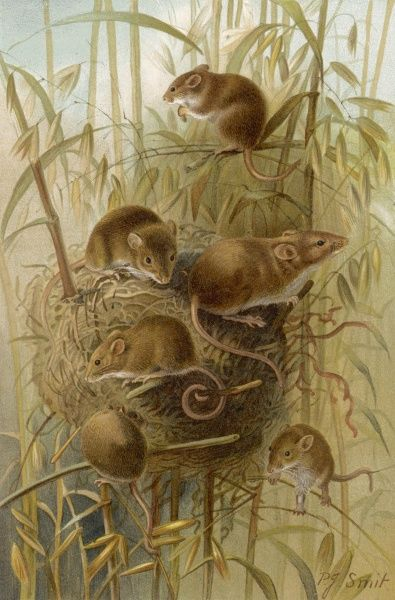 A group of harvest mice and their nest