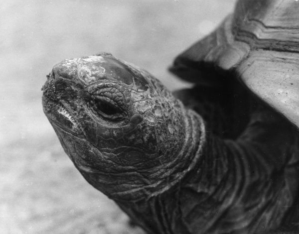 The wrinkly old face of a giant tortoise. Date: 1960s