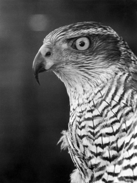 The head of a Goshawk. Date: 1960s