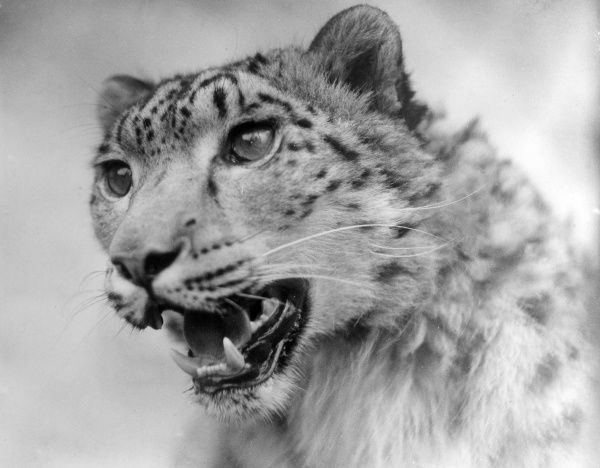 Head of a leopard. Date: 1930s