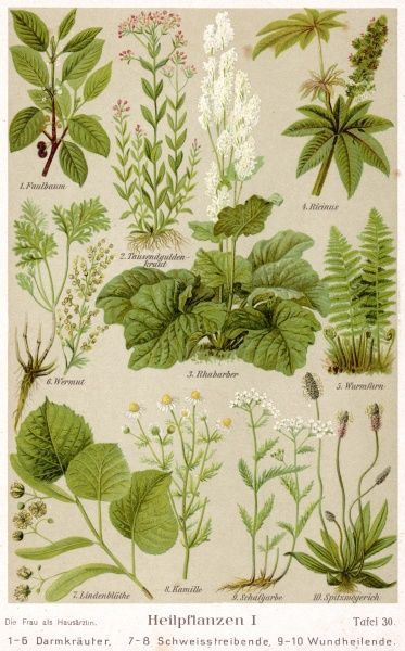 A selection of 11 healing plants & herbs including camomile and rhubarb