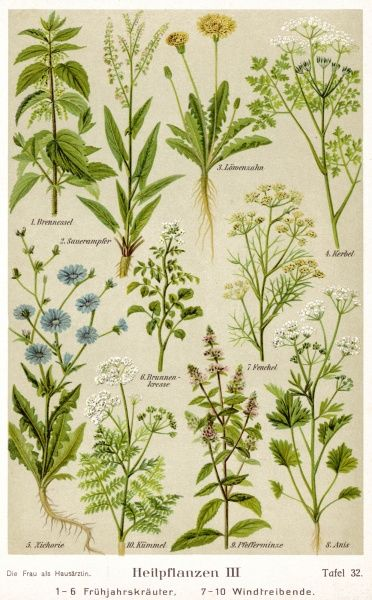 A selection of 10 healing plants & herbs including nettle, dandelion, chicory, fennel, peppermint & anise