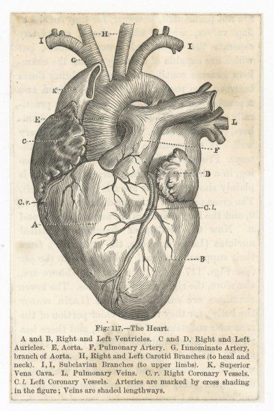 the heart showing the ventricles, auricles, aorta, arteries, carotid branches and other associated vessels