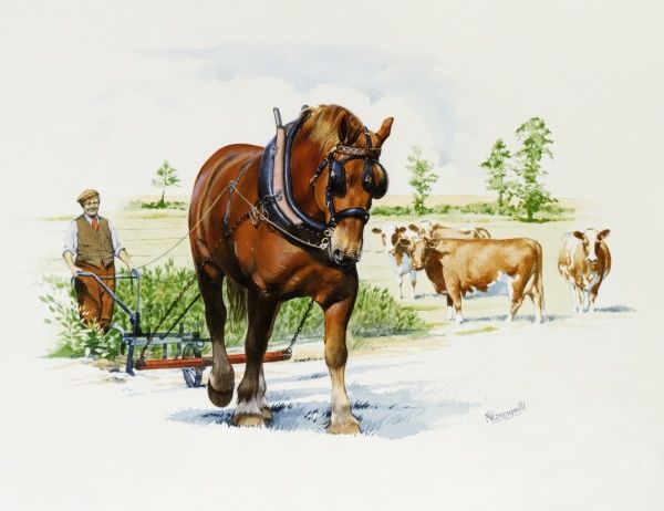 A heavy shire horse pulls a light one-wheeled plough througha field with grazing cattle. Watercolour painting by Malcolm Greensmith