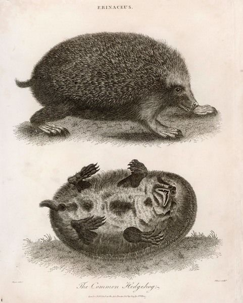 A common hedgehog, seen from two different angles