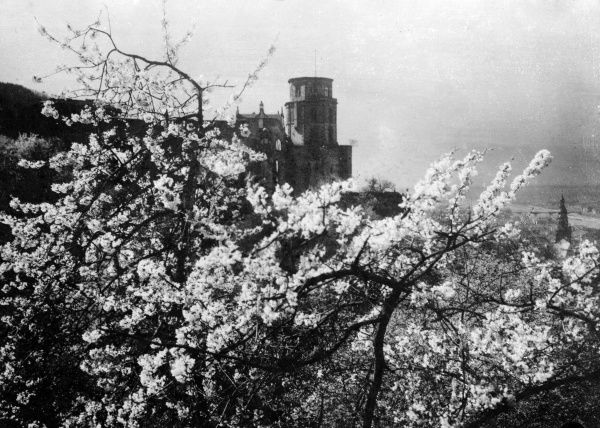 Apple blossom and a castle in Heidelberg, Germany. Date: early 1930s