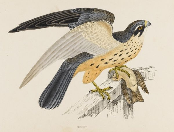 HOBBY (Falco subbuteo) characterised by its remarkably long wings