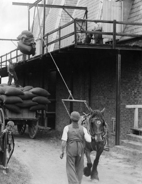 Hoisting 'pokes' of hops onto a drying platform. Despite modern advances such as mechanical hop presses, horses were still being used for hoisting the pokes (sacks). Date: 1930s