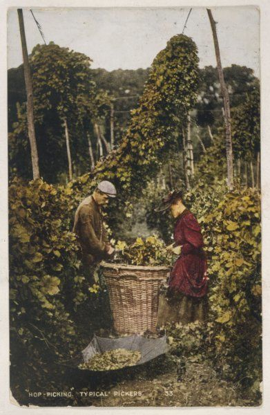 Workers in a Kentish hop garden sorting hops from a large basket into an upturned umbrella