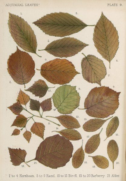 Hornbeam, hazel, birch, barberry and alder tree leaves in autumn colours